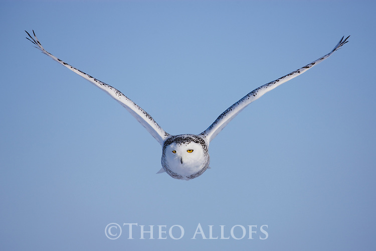 Snowy owl flying in winter, Canada