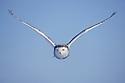 Snowy owl flying in winter, Canada