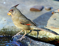 Adult female pyrrhuloxia
