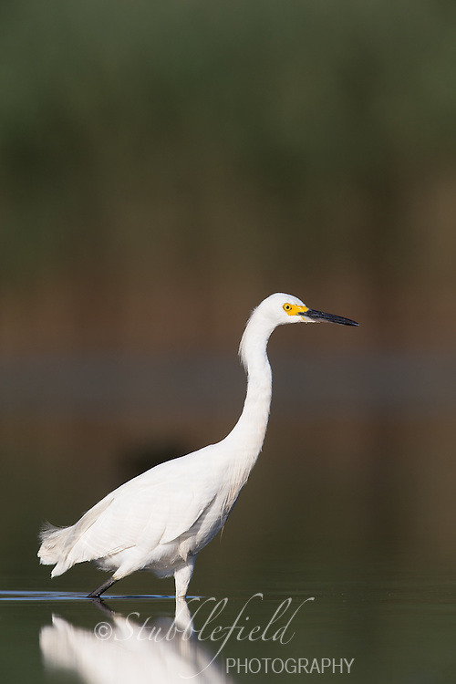Snowy Egret (Egretta thula thula), adult foraging at the Jamaica Bay Wildlife Refuge in Queens, New York City, New York.