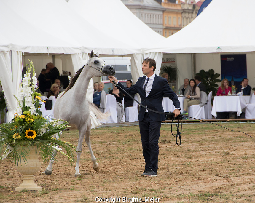 Prague Intercup - International Arabian Horse Show.<br /> Handler and Horse in the Show ring.<br /> Horse: D Feddah, yearling Fillie