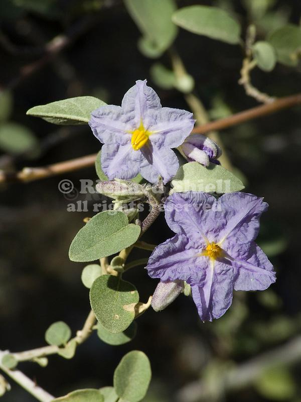 Baja Nightshade, Solanum hindsianum