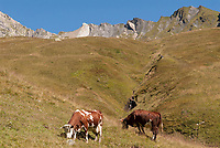 Tarine cows grazing above 1500 meters, above Vallee des Glaciers. These cows produce the milk for Beaufort Cheese. September 6 2007