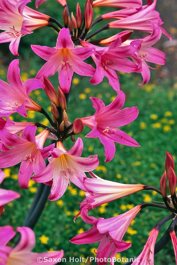 Amaryllis belladonna (Naked Lady, Belladonna Lily)