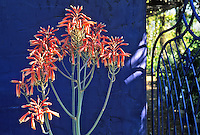 A blooming aloe and an iron gate form a dramatic abstract image at the entrance to the blue walled demonstration garden created by Mike Shoup at his Antique Rose Emporium in San Antonio, Texas