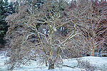 Snowy magnolia tree at the Arnold Arboretum in the Jamaica Plain neighborhood, Boston, Massachusetts, USA