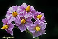 HS05-033d  Potato - flower