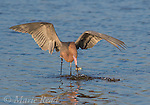 Reddish Egret (Egretta rufescens), dark morph, breeding plumage, catching fish, Fort De Soto Park, Florida, USA