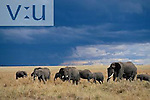 African Elephants and an approaching storm. ,Loxodonta africana, Kenya