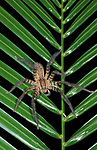 Huntsman Spider, Heteropoda, Belize, on green palm leaf