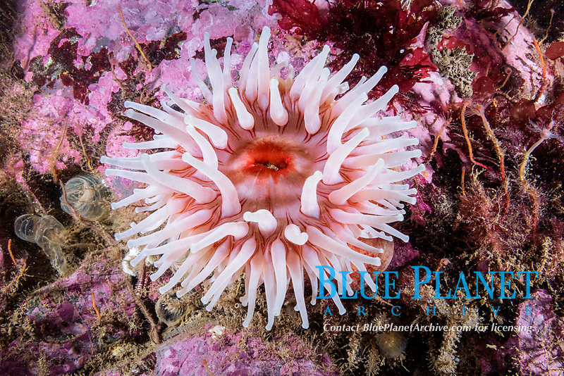 Northern Red Anemone, Urticina felina, Eastport, Maine, USA, Atlantic Ocean