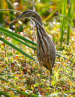American bittern adult hunting at pond