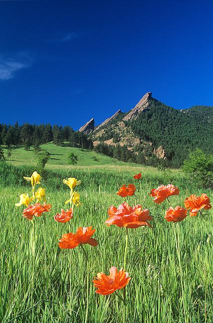 Iris, Oriental Poppies, Flatirons, Boulder, Colorado