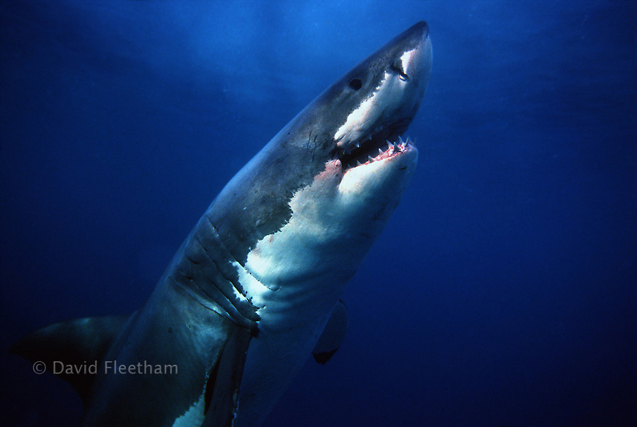 This great white shark Carcharodon carcharias passed close to the cage on it's vertical ascent from the bottom to the surface.  South Australia.