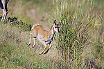 Running Pronghorn Antelope fawn in Montana