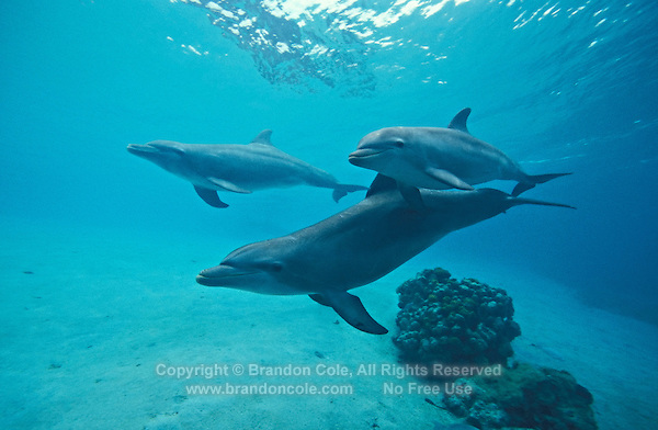 my733. Bottlenose Dolphins (Tursiops truncatus). Honduras, Caribbean Sea..Photo Copyright © Brandon Cole. All rights reserved worldwide.  www.brandoncole.com.
