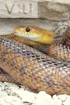 Female Baird's Rat Snake ,Elaphe bairdi,, Texas, USA.