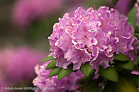 Rosebay rhododendron in bloom, Great Smoky Mountains National Park, Tennessee