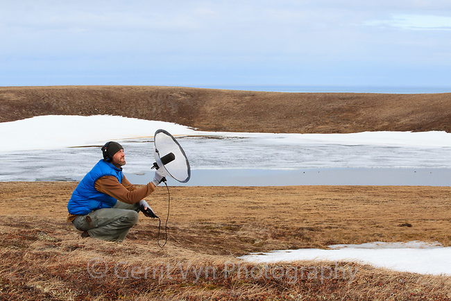 Gerrit Vyn making the first high quality sound recordings of Spoon-billed Sandpiper display flights with a parabolic dish for the sound collection housed at the Cornell Lab of Ornithology.  Gerrit also collected the first HD video footage of the SBS. Chukotka, Russia. June.