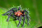 Baby Tarantula, sp. unknown, Family: Theraphosidae,, Iquitos Peru, jungle, amazon, on leaf, Red abdomen and carpace and blue legs, hairy.South America....