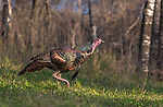 Eastern wild Turkey walking in a northern Wisconsin field.