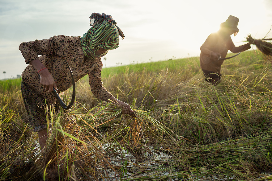 November 30, 2013 - Lvea village, Seang kveang Commune - (Prey Veng). Ms. Chhay Sorn (62) cuts organic rice with a sickle during a crop harvest in paddy field outside the community. © Thomas Cristofoletti / Ruom