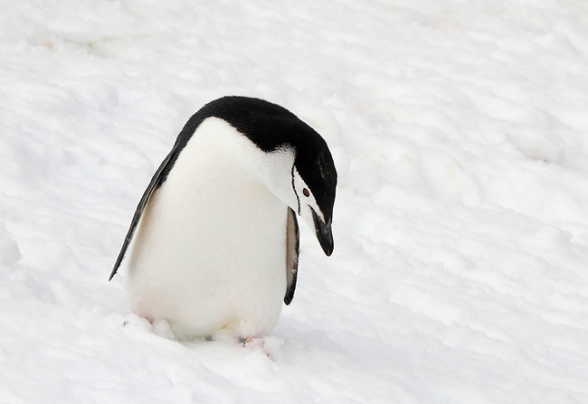 Chinstrap penguin on snow. Antarctica