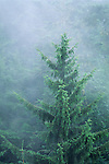 Spruce tree in fog in forest near Trinidad, Humboldt County, California