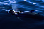 Pacific Bottlenose Dolphin surfacing to breathe off the coast of Baja California, Mexico.