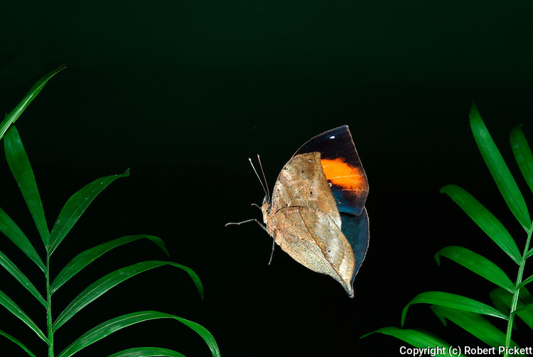 Indian Leaf Butterfly, Kallima paralekta, in flight, flying, high speed photographic technique, jungle.Thailand....