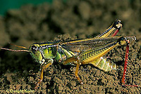 "OR03-043d   Grasshopper - laying eggs in soil, short horned or ""true"" grasshopper, two-striped grasshopper - Melanoplus bioittatus"
