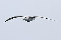 White-headed Petrel in flight