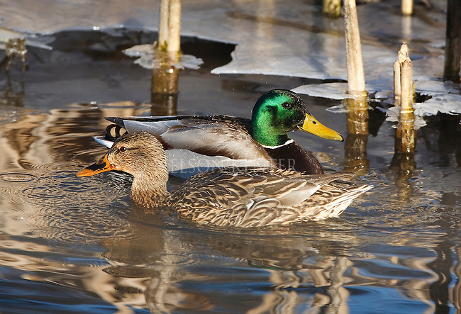 Mallard duck drake and hen pairing up in early spring in Montana
