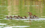 Common Mergansers (Mergus merganser) family, female swimming with seventeen ducklings, some of which are riding on her back, Lansing, New York, USA