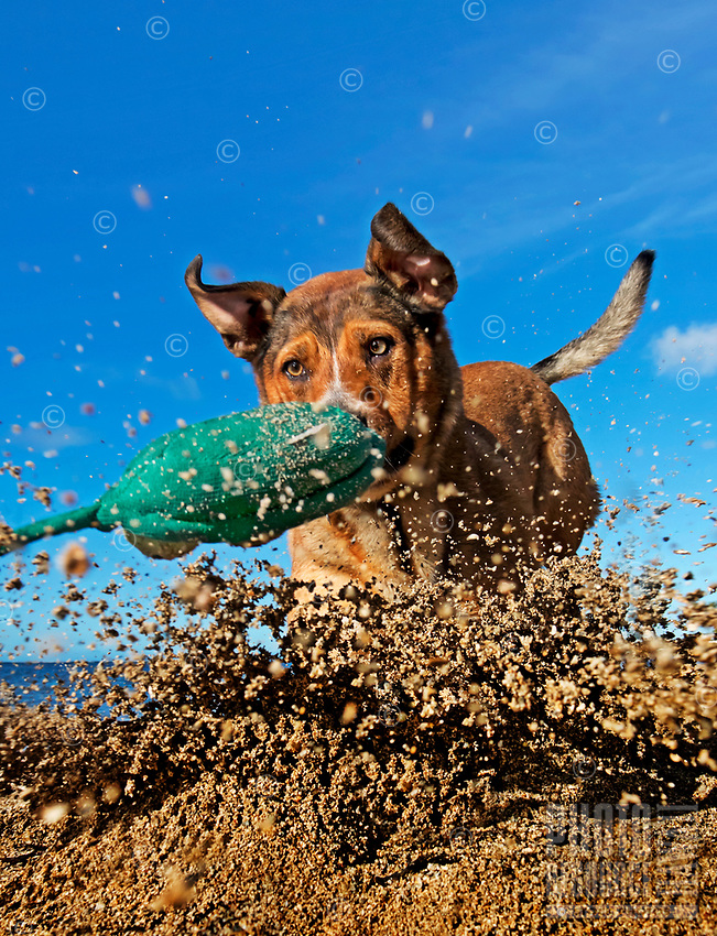 Poi dog Isabella kicks up sand as she chases her toy at a beach on O'ahu.