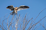 Rose Canyon, San Diego, California; a fledgling white-tailed kite landing in a leafless tree soon after leaving the nest, spreading its wings for balance