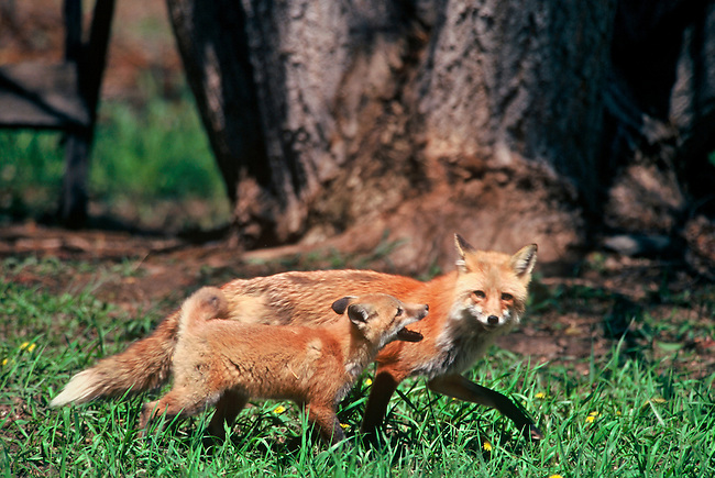 A red fox mom & kit play at the tree's edge in the Big Thompson Canyon, west of Loveland, Colorado.