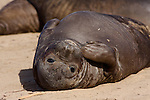 elephant seal weaner molting