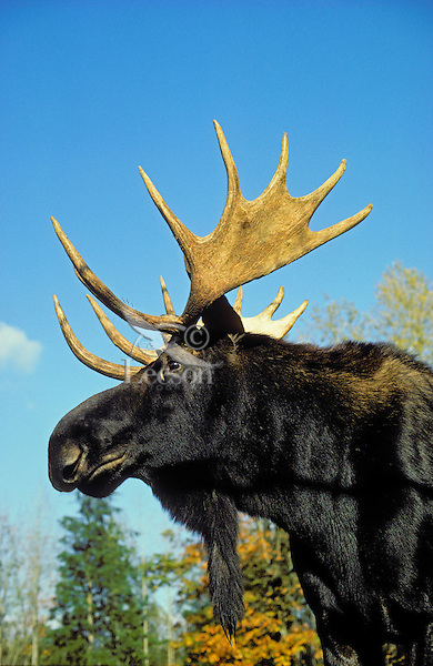 Bull Moose.Autumn. Rocky Mountains..(Alces alces).