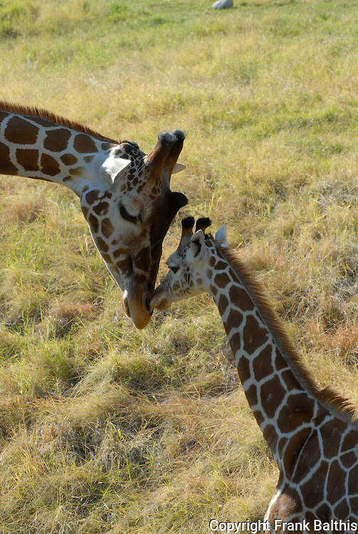 Reticulated giraffes. Mother & young.