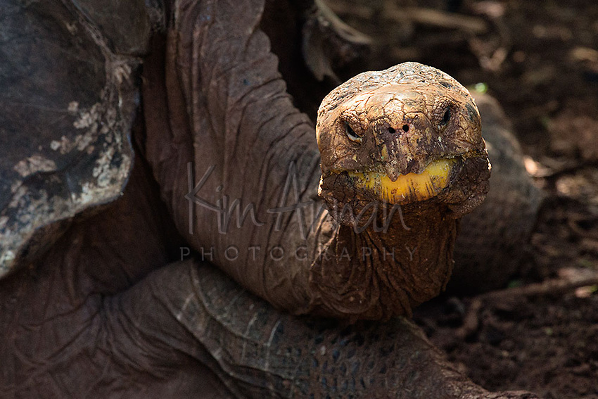Galapagos Saddle Back Tortoise