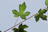 Feld-Ahorn, Feldahorn, Feld - Ahorn, Acer campestre, Blätter, Blatt gegen blauen Himmel, Laub, Field Maple, Hedge Maple, Erable champêtre