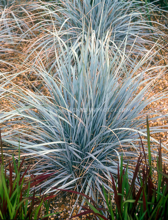 Elymus magellanicus ornamental blue wheat grass plant for Ornamental grass with blue flowers
