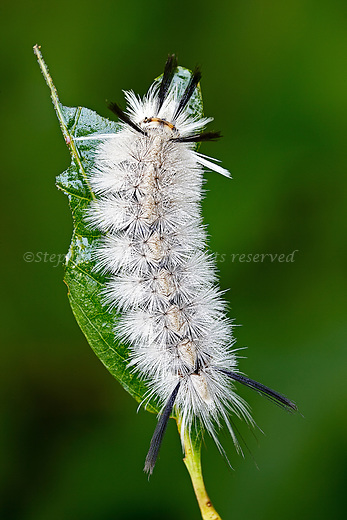 Banded Tussock moth caterpillar.