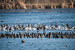 Columbia Ranch, Brazoria County, Damon, Texas; a massive flock of American Coot birds taking flight from the surface of a lake in late afternoon sunlight
