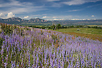 Lupine wildflowers and Boulder valley, Flatirons rock formation and Indian Peaks, Boulder, Colorado. Private guided tours to Indian Peaks. .  John leads private photo tours in Boulder and throughout Colorado. Year-round Colorado photo tours.