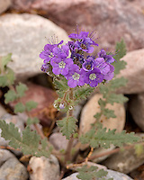 Notch-leaf phacelia, Phacelia crenulata, Death Valley National Park