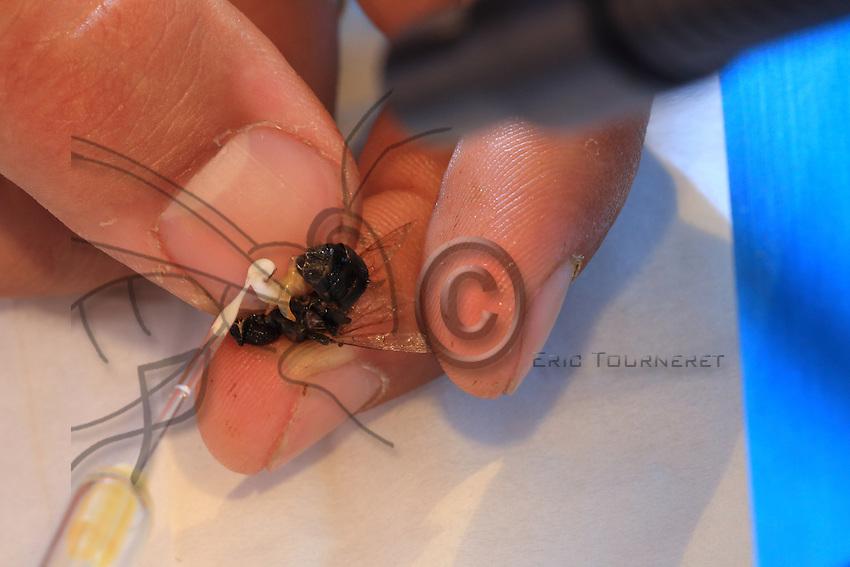 Extracting the sperm from a drone's endophallus.///Prélèvement du sperme de l'endophallus d'un faux-bourdon.