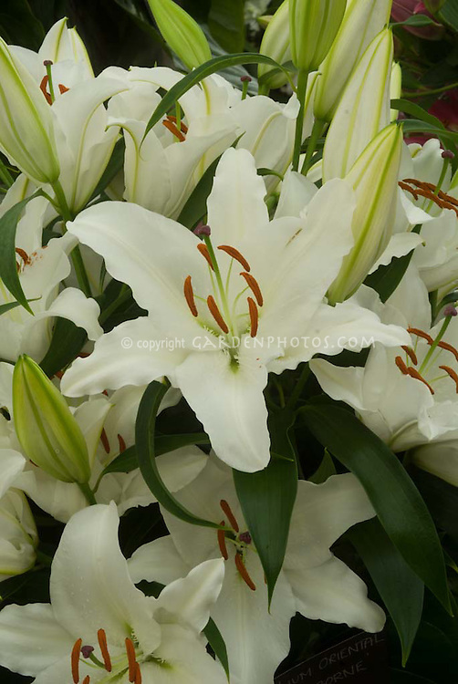 Lilium 'Gisbourne' (Oriental) lily