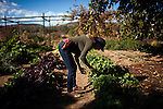 BAJA CALIFORNIA - NOVEMBER 27, 2013:  Garden manager Claire Acosta picks produce for use in the upscale Corazon de Tierra restaurant in the popular and growing wine region of Valle de Guadalupe. Residents and wineries in Mexico's wine country are protesting the mayor's relaxing of zoning regulations they say will lead to a drastic change in the culture of  the popular tourist destination.  CREDIT: Max Whittaker for The New York Times